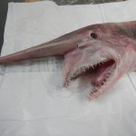 Rare Vampire Shark Caught in Australia VIDEO