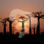 African Legends of the Ancient Baobab Tree VIDEO