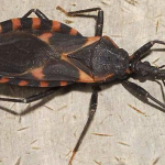 """Kissing Bug"" Can Cause Deadly Bites Found in the USA"
